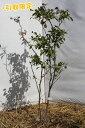 ナツハゼ(山取り天然木) 株立 1.0m-1.5m程度(根鉢含まず)【引取限定】【宅配可能】