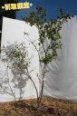 ナツハゼ(山取り天然木) 株立 1.2m-1.9m程度(根鉢含まず)【引取限定】【宅配可能】