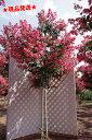 【現品発送】 サルスベリ 赤花 「タスカローラ」 2.2m-2.4m程度(根鉢含まず)