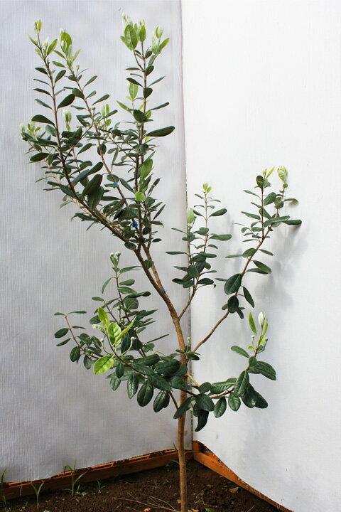 庭木としても楽しめる果樹!フェイジョア 【楽天市場】【入手困難】【数量限定】庭木としても楽しめる