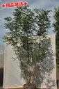 【樹形が選べる!】シマトネリコ 株立 2.1-2.6m程度(根鉢含まず) 【6ヶ月枯れ保証】