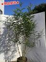 【現品発送】【自然樹形】シマトネリコ株立 2.0m~2.1m程度(根鉢含まず)
