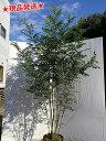 【現品発送】【自然樹形】シマトネリコ株立 2.1m~2.2m程度(根鉢含まず)