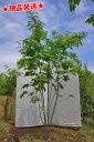 アオダモ(畑もの) 株立 2.0m-2.5m程度(根鉢含まず)