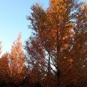 【3本セット】【6カ月枯れ保証】「メタセコイア」 苗木 0.5m程度