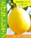 【柑橘苗木】とげなしレモン 2年生 高さ70cm〜1.0m