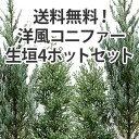 【送料無料】洋風コニファー生垣4ポットセットムーングロウとレッドスター