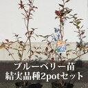 ブルーベリー苗 結実品種 2potセット【送料無料/産地直送】