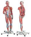 【送料無料】【無料健康相談 対象製品】世界基準 3Bサイエンフィティック社筋肉解剖、23分解モデル、女性