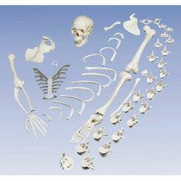 送料無料 ネブライザー 吸入器 専門家による1年間の無料介護相談付 3b社 聴診器 骨格分離モデル 全身骨格分離模型 A05 Smtb S Fsp2124 6m 02p06aug16 送料無料 世界中で愛用されている人体模型です