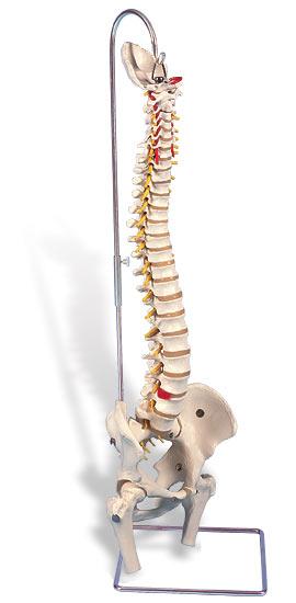 【無料健康相談 対象製品】3B社 【人体模型】 脊柱模型 脊柱可動型モデル大腿骨筋・起始/停止表示付 (a58-3)  【鍼灸】【模型】