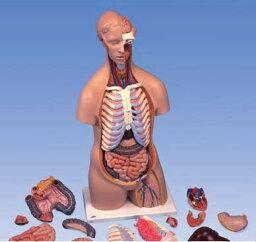 【送料無料】【無料健康相談 対象製品】3B社 トルソー解剖模型 トルソー16分解モデル無性 (b11)   【smtb-s】 【fsp2124-6m】【02P06Aug16】