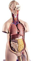 【送料無料】【無料健康相談 対象製品】3B社 トルソー解剖模型 トルソー14分解モデル無性 (b13)   【smtb-s】 【fsp2124-6m】【02P06Aug16】