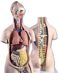 【送料無料】【無料健康相談 対象製品】3B社 トルソー解剖模型 トルソー18分解モデル無性背側開放型 (b19)   【smtb-s】 【fsp2124-6m】【02P06Aug16】