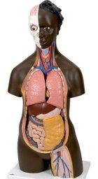 【送料無料】【無料健康相談 対象製品】3B社 トルソー解剖模型 アフリカ系人トルソー14分解モデル無性 (b36)   【smtb-s】 【fsp2124-6m】【02P06Aug16】