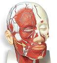 【送料無料】【無料健康相談 対象製品】3B社 頭部模型 頭・頚部の筋肉モデル・血管付 (vb128)   【smtb-s】 【fsp2124-6m】【02P06Aug16】