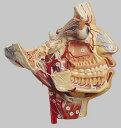 ソムソ社 顔面の神経と血管分布模型 bs16 【smtb-s】