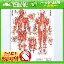 「検査」医道の日本社 人体解剖学チャート骨格筋 ポスター パネルなし(SR-116A)+さらに選べるおまけ付き