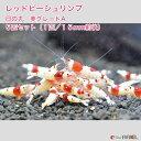 【紅蜂シュリンプ】レッドビーシュリンプ 日の丸 美グレードA 5匹セット(1匹/15mm前後)