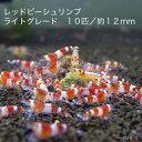 【ボーナスセール】レッドビーシュリンプ ライトグレード 10匹セット(1匹/12mm前後)