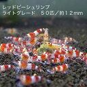 【お盆セール】レッドビーシュリンプ ライトグレード 50匹セット(1匹/12mm前後)