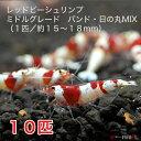 レッドビーシュリンプ ミドルグレード バンド・日の丸MIX 10匹セット(1匹/15〜18mm)死着補償サービス+2匹