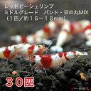 レッドビーシュリンプ ミドルグレード バンド・日の丸MIX 30匹セット(1匹/15〜18mm)死着補償サービス+3匹