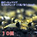黒ビーシュリンプ ミドルグレード 10匹セット(1匹/約14mm) 死着補償+2匹