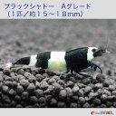 【国内有名ブリーダー】ブラックシャドーシュリンプ パンダ  Aグレード 1匹/15〜18mm