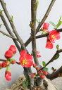 '開花中苗'【木瓜(ボケ)株立ち状】樹高1.2m前後 根巻き苗