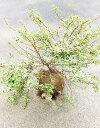 美しい葉とコンパクトな樹形が◎【アベリア コンフェッティ】枝張り40cm前後根巻き苗