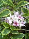 【斑入りウツギ フロリダ・バリエガータ】樹高1.2m前後 (フイリウツギ)、根巻き苗 葉に綺麗な覆輪・ピンクと白の花が同時に楽しめる