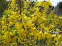 【レンギョウ】樹高1.2m前後 根巻き大苗