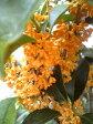 とても良い香りの花【金木犀(キンモクセイ)】 6号ポット 樹高1.3m前後
