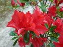 うららかな春に彩りを【ヒラドツツジ(平戸つつじ)赤花】樹高60cm前後 根巻き苗