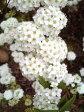 小花が小さなまりのように可愛らしい【コデマリ】6号ポット大苗(樹高1.6m前後)