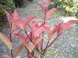 赤い葉が美しい【ベニカナメ】日本紅カナメ 樹高1.6m前後 大苗