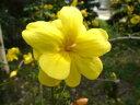 【雲南黄梅(ウンナンオウバイ)】樹高1.2m前後 根巻き苗 黄金の華やかな花