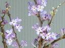 【長寿桜(チョウジュザクラ)チョウジザクラ】根巻き苗 樹高0.6m前後