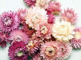 ◆Doraifurawaherikurisamuheddopinku[ヘリクリサムヘッドピンク/ドライフラワー・花材・カイザイク・ムギワラギク]