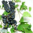 生山ぶどう 5kg (岩手県 下田澤山ぶどう園) 山葡萄 送料無料 産地直送