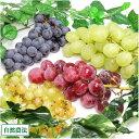4種のぶどうセット 約2kg(約4房×2箱) (山形県 佐久間農園)自然農法無農薬ぶどう・送料無料・産地直送