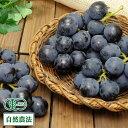 【予約商品】 ぶどう 高墨 2kg 自然農法 (宮城県 後藤ぶどう園) 産地直送