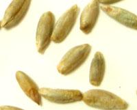 ●オーガニック 有機JAS認定品 ●ライ麦粒 10kgバルク こだわったパン屋さんが使っています。●発送まで4日掛かります