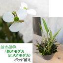 趣味: めだか 飼育にお勧め♪ 小型の抽水植物「 姫オモダカ ( ヒメオモダカ )」 ポット植え(自家栽培品)