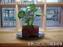 ★インテリアのプロが考えた「オリジナルミニガーデン」★幻の観葉植物★モンステラ3★熱帯の溶岩と植物を組み合わせて