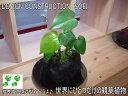 ★インテリアのプロが考えた「オリジナルミニガーデン」★幻の観葉植物★モンステラ4★熱帯の溶岩と植物を組み合わせて