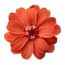 【即納】ジニア・小 アプリコットオレンジ【小分け 1輪】プリザーブドフラワー プリザーブドフラワー花材 【大地農園】