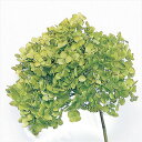 【即納】 プリザーブドフラワー 花材 30%OFF ソフトアナベルヘッドアジサイ【グリーン 箱2輪入】 大地農園