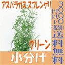 アスパラガス スプレンゲリ【グリーン 小分け 8〜10g入】 フロールエバー